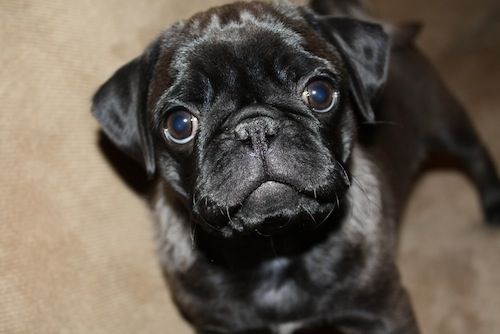 silver gray silver black pug puppy